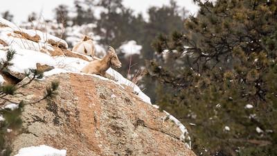 Bighorn sheep near Castle Mountain.