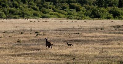 Cow elk chasing off coyote.
