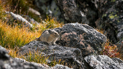 Pica at about 11,000 feet in Rocky Mountain National Park.