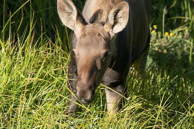 First young moose calf between Grand Lake, Colorado and Rocky Mountain National Park.