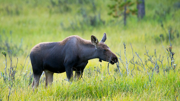 Second young moose calf between Grand Lake, Colorado and Rocky Mountain National Park.