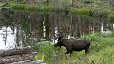 Bull #1 - A 10 x 8 point bull moose.  Near Grand Lake Colorado