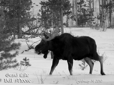 Bull moose outside of Grand Lake, Colorado.  Only has one antler.