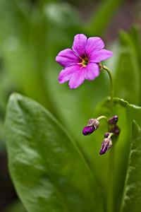 Parry's Primrose (Primula parryi) - Lake Isabelle trail