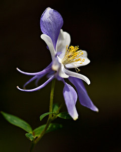 Columbine, Lake Isabelle trail
