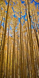 Fall Aspen Canopy, Maroon Lake Trail 3 image vertical stitch