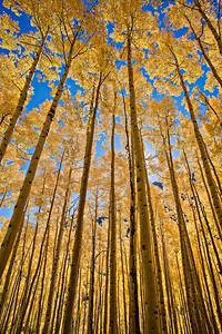 Fall Aspen Canopy Maroon Lake Trail