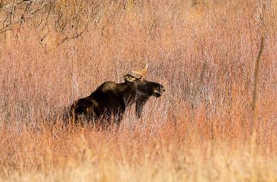Douglas County Moose