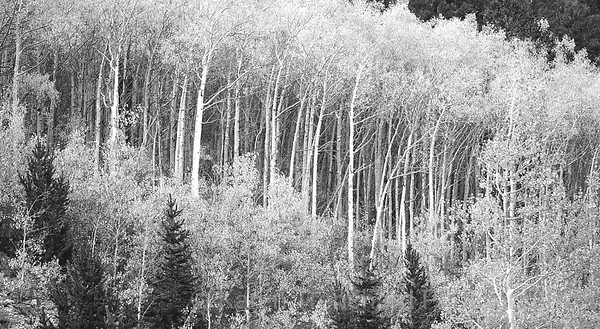 Aspen at Misquito Pass, Colorado