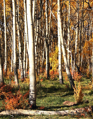 Aspen Forest,Colorado, Fall Leaves