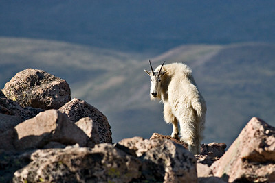 Rocky Mountain Goat - July 2006