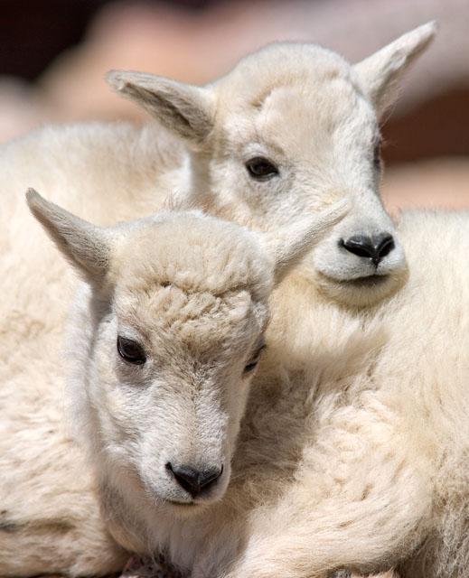 Rocky Mountain Goat Kids - August 2004
