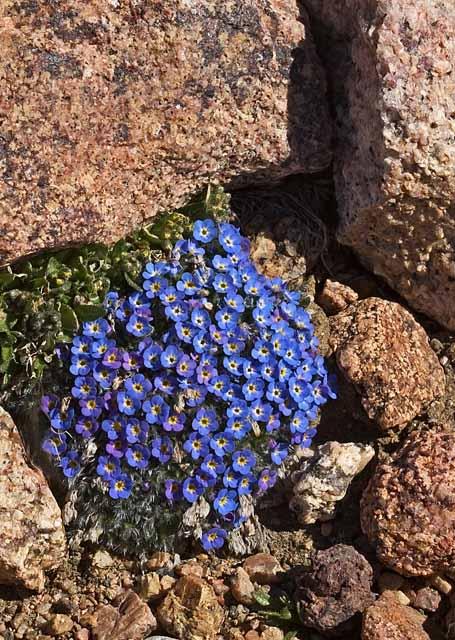 Tundra wildflowers - August 2004
