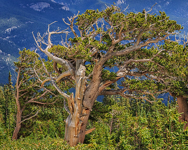 Bristlecone Pine, Mt Goliath