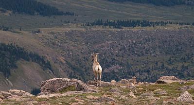 Bighorn sheep ewe surveying her kingdom.