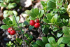 berries for bears