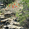 Southwestern Paintbrush in bloom