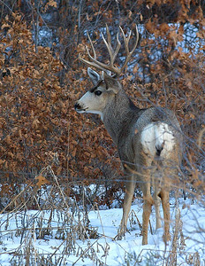 5x5 Mule Buck