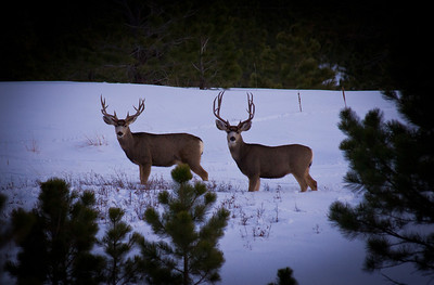 Noe Road bucks.  These two with with a group of 6 other bucks.