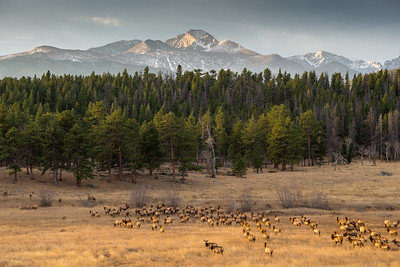 Dozens of elk heading to the trees to bed down for the day.