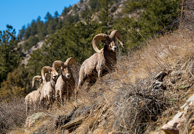 Bighorn Sheep.  Three nice big rams and a 4th smaller one.