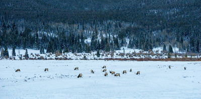 There are at least 17 big bull elk in this photograph taken in Horseshoe Park, in RMNP.  We counted approximately 70 bulls in Horseshoe Park during this time.