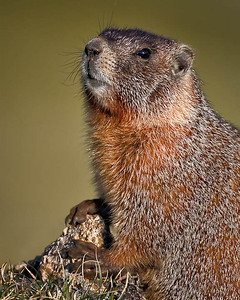 Posing for a portrait Yellow Bellied Marmot