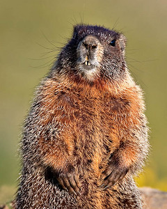 Conversations with a Marmot