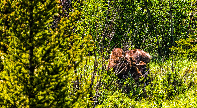 Moose in the bush