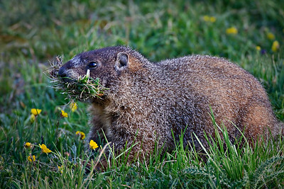 Mowing Grass - Yellowbellied Marmot Trail Ridge Road