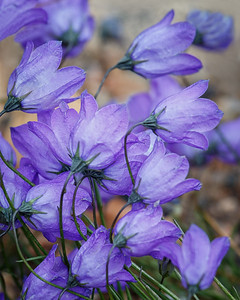 Harebell, Trail Ridge Road