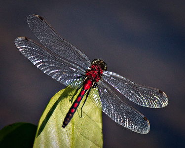 Dragonfly - Nymph Lake