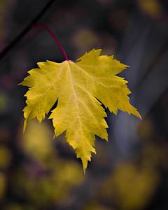 Lone Leaf - Fall 2008