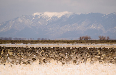 Sandhill Cranes of Monte Vista, CO