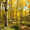 An aspen grove in the first week of October to the Northeast of McClure pass, about 15 miles up valley from Carbondale.