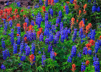 Indian Paintbrush & Lupine, Shrine Ridge