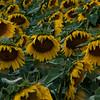 Sunflower Fields by Denver International Airport - August 18, 2017