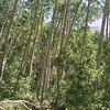 Aspens in Telluride