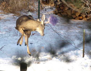 It was rather sad to watch this buck violently struggle unsuccessfully to break free of the netting and the fence.
