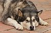 A large husky dog in Mountain Village above Telluride, Colorado, USA, America.