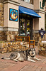 The shops and a husky dog in Mountain Village above Telluride, Colorado, USA, America.