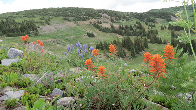 Indian Paint Brush and Lupine in the Colorado mountains