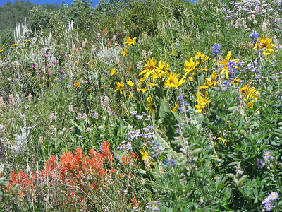 Indian Paint Brush, Sunflowers and Lupine