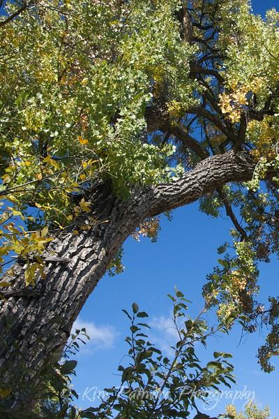 Cottonwood Ladder