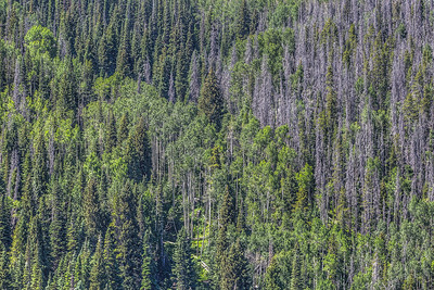 Wall of pine trees in Colorado, USA