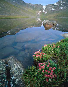 Arapaho National Forest., COL/Mt. Evans reflected in Summit Lake in the pre-dawn light with flowering rose crown (Sedium rhodanthum) in the foreground. 796V7