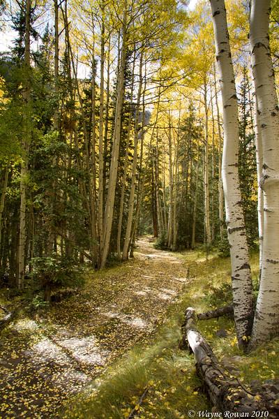 Yellow Aspen Leaves on Road