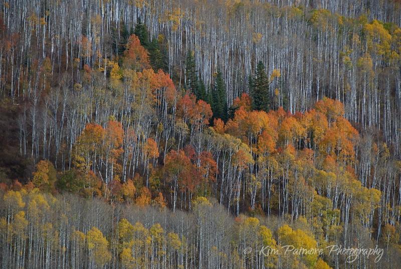 Autumn Aspens, Telluride, Colorado