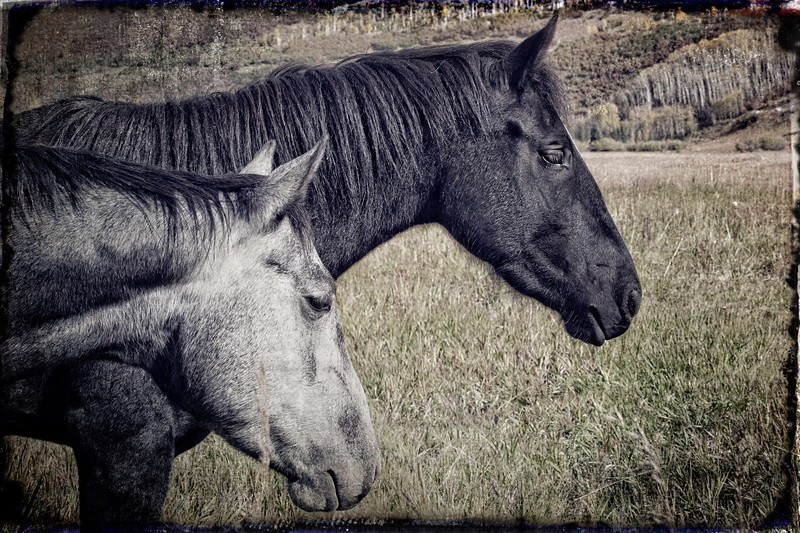 Outfitter's horses