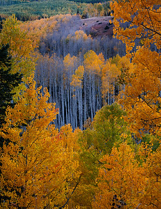 Window into Aspens, Fall Colorado 2019